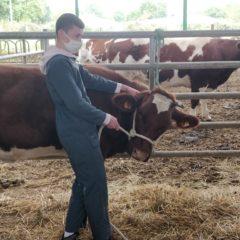 Travaux pratiques : contention et manipulation de bovins